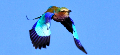 While in flight, and especially during a roll, the bright blue plumage of the lilac-breasted roller becomes especially discernible.