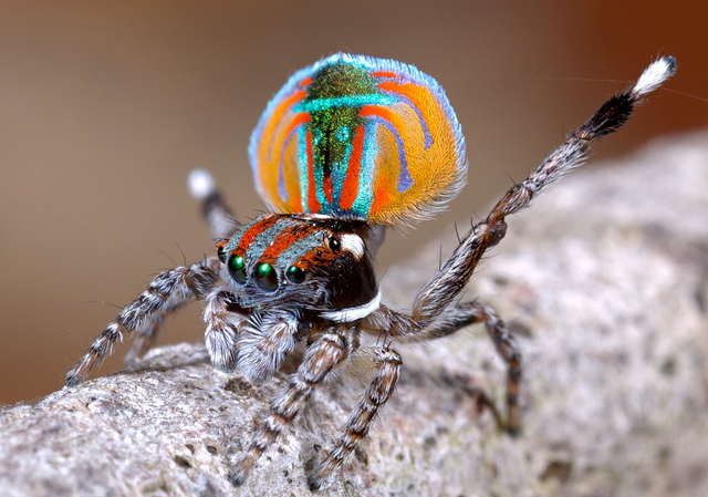 Peacock jumping spiders - photo#9