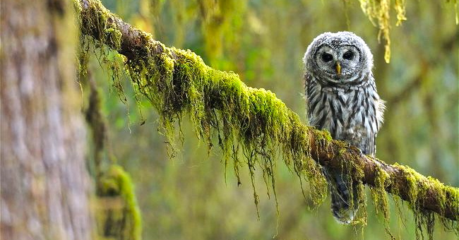 Above: a barred owlet on a moss-covered branch.