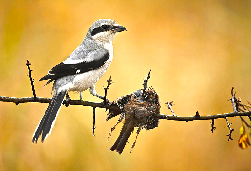 A Northern Shrike,  Lanius excubitor, a species of shrike we can sometimes find in Alberta.