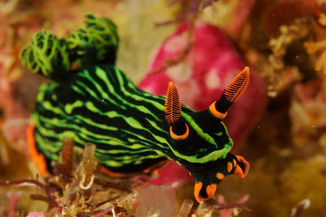 The variable neon slug, Nembrotha kubaryana.