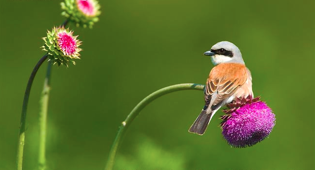 A male Red-backed shrike  perched on musk thistle.