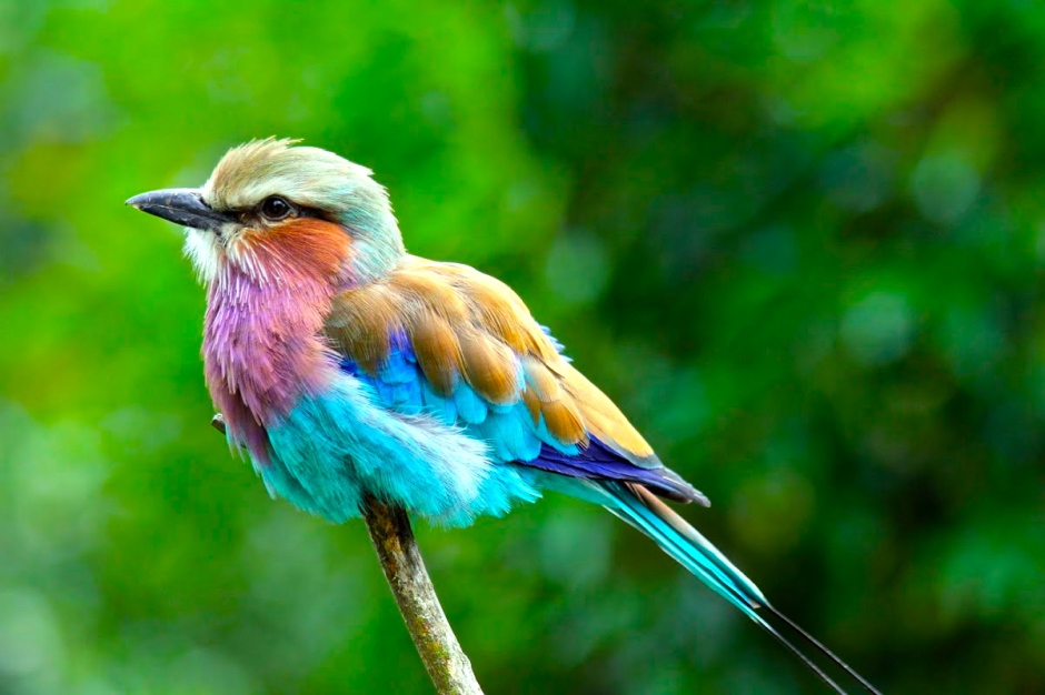 With its myriad of vibrant plumage, the lilac-breasted roller is one of the most colourful birds in Africa.