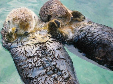 Sea otters (Enhydra lutris) sleep while holding paws.