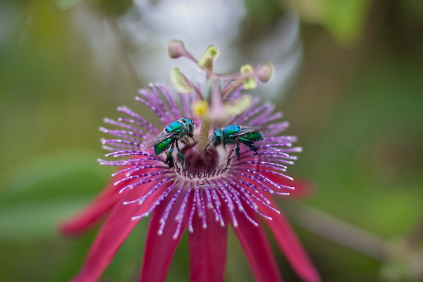 Two Euglossine bees on a passionflower.