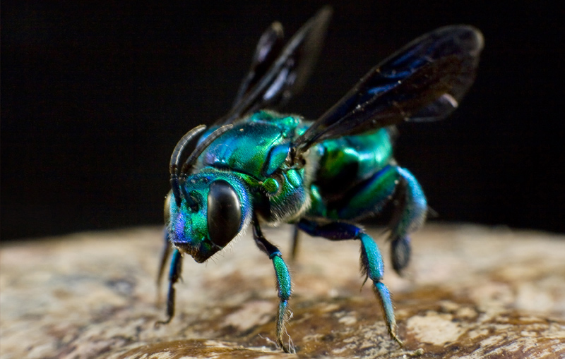A green Euglossine bee, Euglossa spp.
