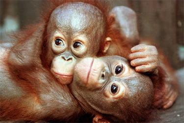 Cuddling baby orang-utans (Pongo borneo).