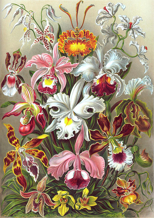 orchidae-orchids-ernst-haeckel