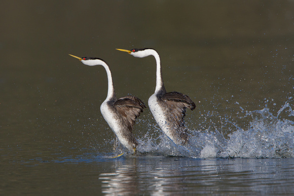 Two Western Grebes, Aechmophorus occidentalis, in the midst of their courtship dance.