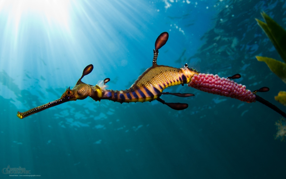 A male weedy sea dragon, Phyllopteryx taeniolatus, with its eggs nestled in specialized 'cups' on its tail.