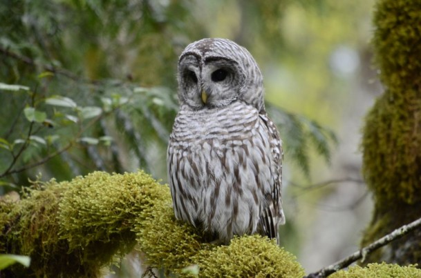 A mature barred owl on another mossy perch. The sunken-in facial discs are reasonably prominent in this photo, and they help to augment hearing and integrate directionality into incoming sounds!