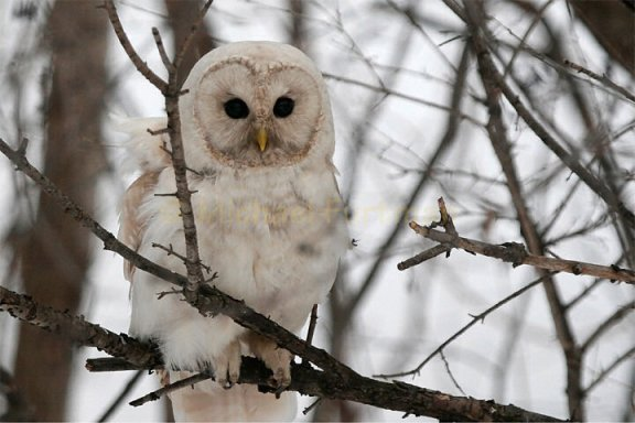 A leucistic (not an albino) barred owl. (Source: http://www.michaelfurtman.com/white_owl.htm)